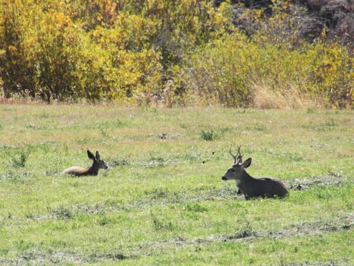 elk camp deer