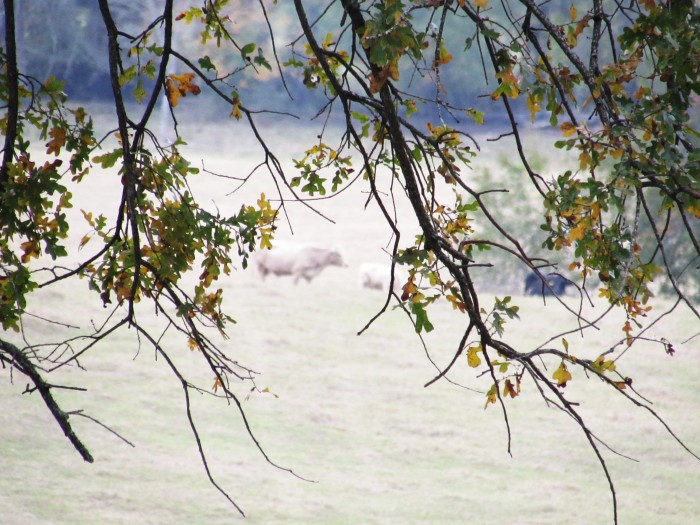 walk tree cows
