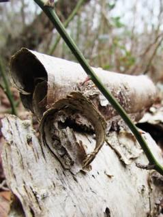 wak tree birch