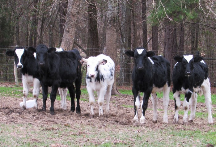 walk calves