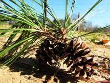 walk pine