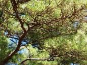 walk addie pine tree