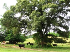 walk cow