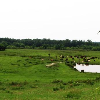 walk cows
